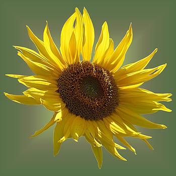 MTBobbins Photography - Sunny Sunflower on Olive
