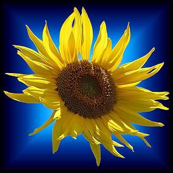 MTBobbins Photography - Sunny Sunflower on the Blues