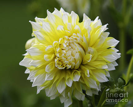 Sunny Yellow and White Dahlia by Kathy DesJardins