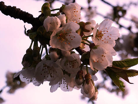 Sunset cherry blossoms by Christine Burdine