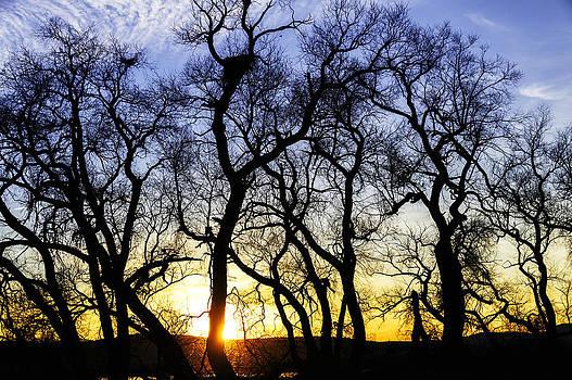 Sunset Cottonwoods by Thomas Chamberlin