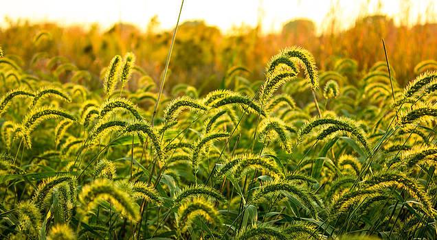 Sunset Grasses by Joseph Mills