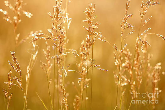 Sunset Grasses by Lincoln Rogers