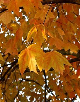Sunset Maple Leaves by Melany Raubolt