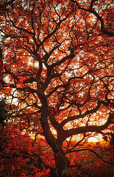 Sunset Oak by Dawn Gilfillan