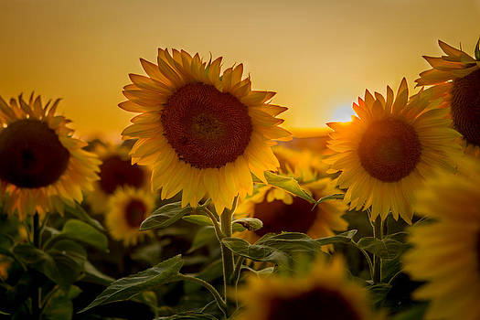 Sunset on sunflowers by Bob Carney