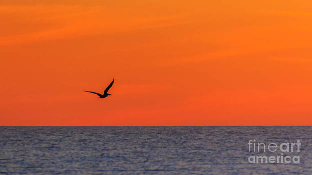 Sunset Pelican by Silken Photography