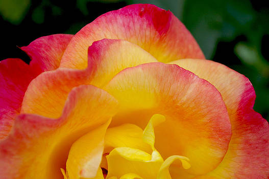 Sunset Rose at Dawn by Christine Burdine