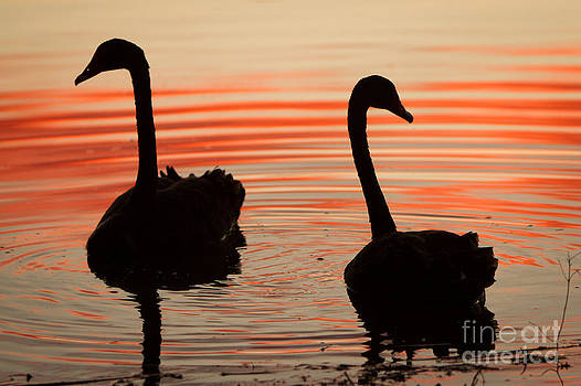 Sunset Swans by Craig Dingle