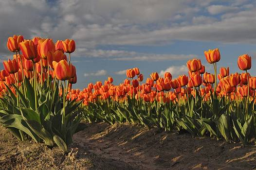 Sunset Tulips by Brent Easley