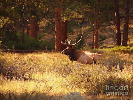 Sunshine Elk by Randy Thornhill