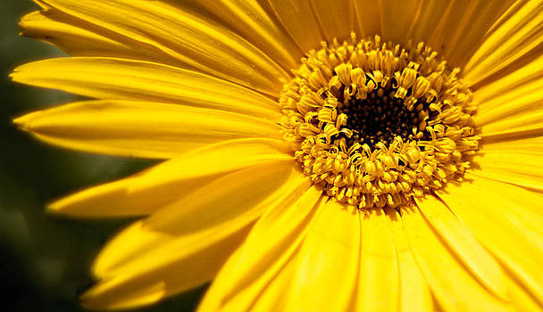 Sunshine Is A Gerbera Daisy by Theresa Johnson