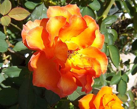 Sunshine on Rose by Rosalie Klidies