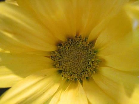 Sunshine Sunflower by Jessi Hersey