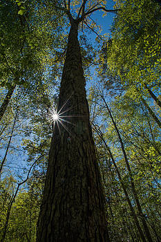 Sunstar in the Forest by Kelvin Taylor
