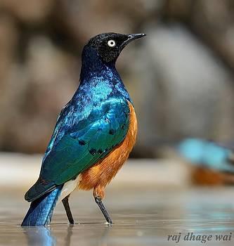 Superb Starling by Raj Dhage