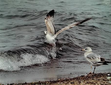 Surfer Gull by Marcheta Gibson