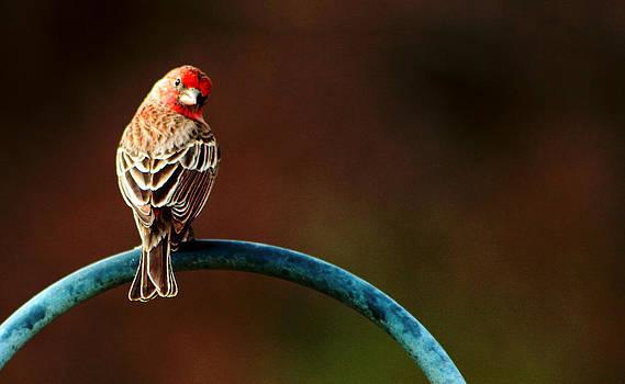 Surreal Purple Finch by David Yocum