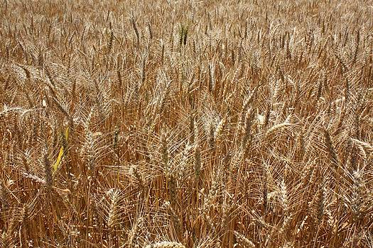 Surry Wheat by Tom Atkins
