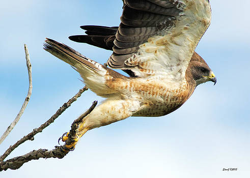 Swainson's Hawk Lift-Off by Stephen  Johnson