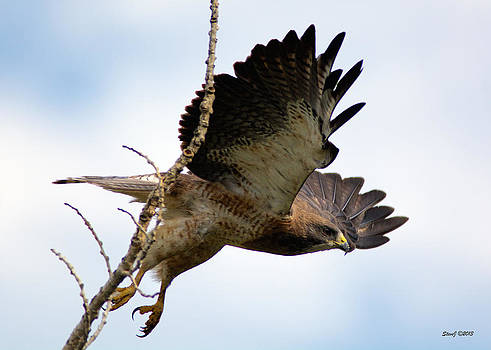 Swainson's Hawk Taking Flight by Stephen  Johnson