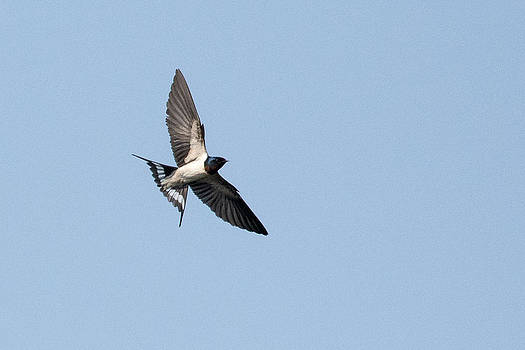 Swallow in Flight by Fotosas Photography