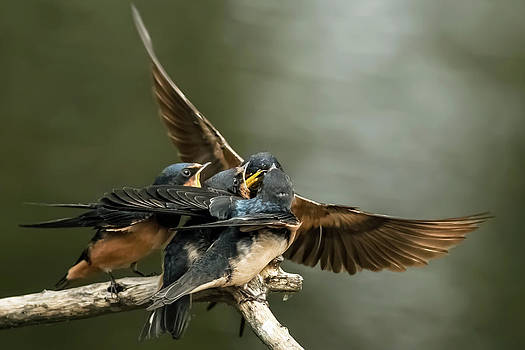 Kenneth Haley - Swallows Feeding 3