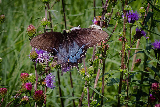 Swallowtail 2 by Al Griffin