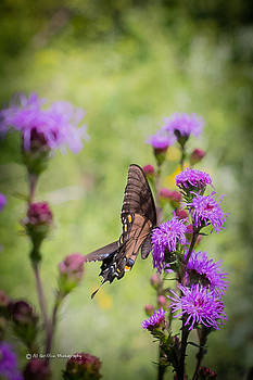 Swallowtail by Al Griffin
