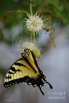 Swallowtail Butterfly 1 by Tannis  Baldwin