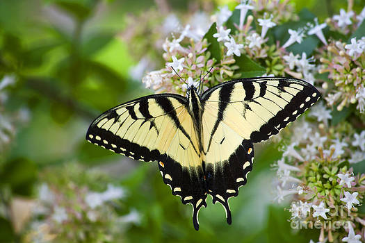 Jill Lang - Swallowtail Butterfly Feeding on Abelia