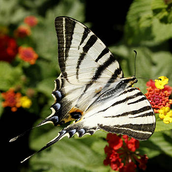 Susan Leake - Swallowtail Butterfly l