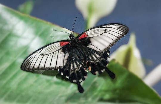 Mae Wertz - Swallowtail Butterfly