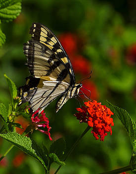 Swallowtail by Christina Durity
