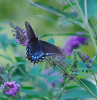 Swallowtail in Flight by Larry Bodinson