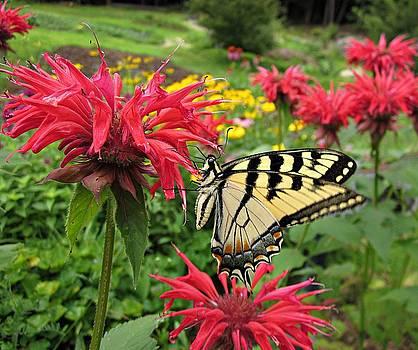 MTBobbins Photography - Swallowtail on Bee Balm