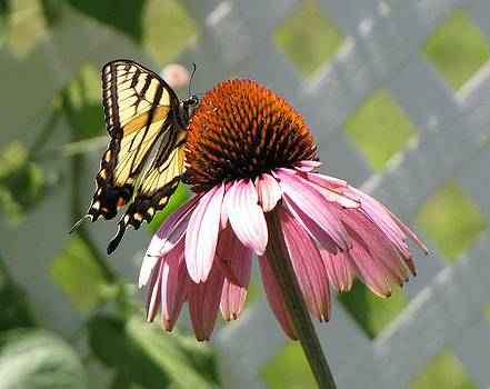 MTBobbins Photography - Looking up at Swallowtail on Coneflower
