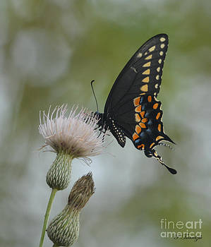 Patricia Twardzik - Swallowtail on