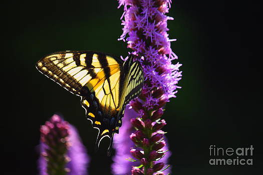 Swallowtail Tail Butterfly  by Roger Soule