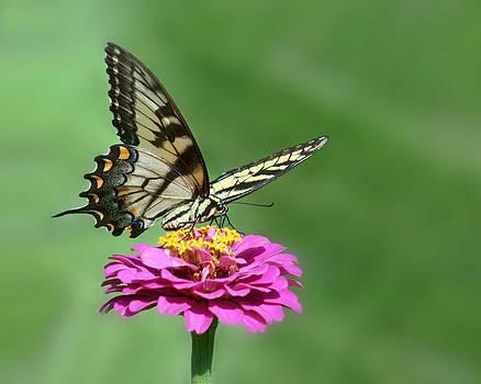 Nikolyn McDonald - Swallowtail Visit - 2011