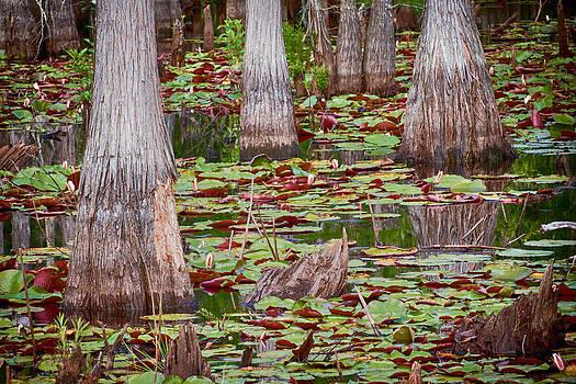 Swamp Cyrpess by Robert Hainer