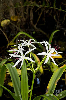 Swamp Lily II by Carol McCutcheon