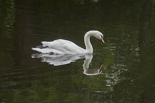 Terry Shoemaker - Swan and Reflection