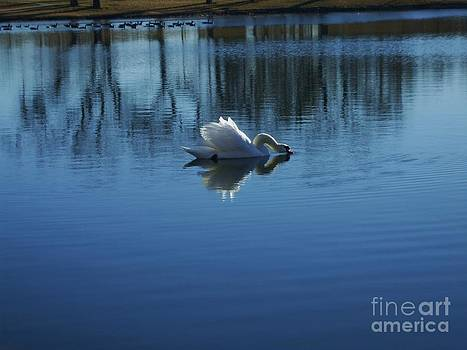 Swan at Rest on Blue water by Robert D  Brozek