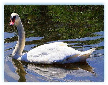 Swan Beauty by Paula Tohline Calhoun