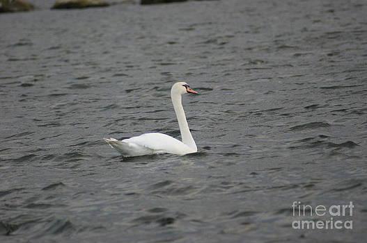 Swan by Carol Lynch