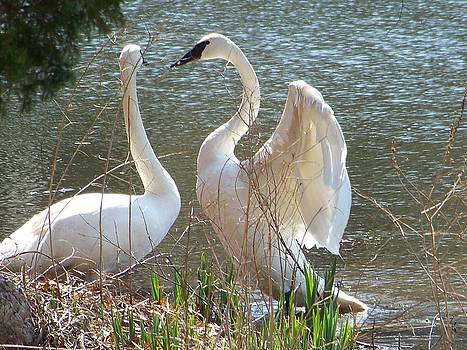 Swan Couple by Jennifer  King