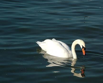 Swan Elegance by Kathy Churchman