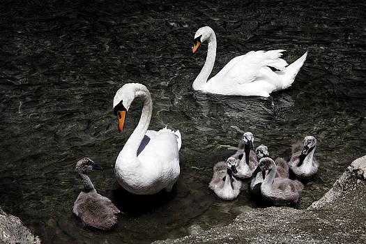 Swan Family by Joanna Madloch