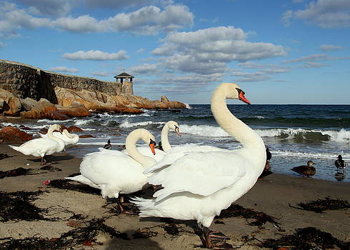 Front Beach - Rockport's Swan Family by Elaine Somers